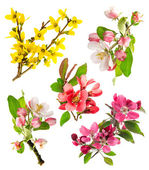 Closeup blossoms apple tree, cherry twig, forsythia — Stockfoto