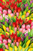 Tulips. fresh spring flowers with water drops — Stock Photo