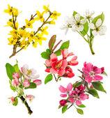 Blossoms of apple tree, cherry twig, pear, forsythia — Stok fotoğraf