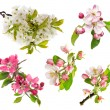 Blossoms of apple tree, cherry twig — Stock Photo #45290923
