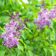 Branch of lilac flowers with green leaves — Stock Photo #45291115