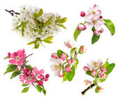 Blossoms of apple tree, cherry twig — Stock Photo