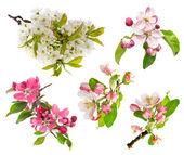 Blossoms of apple tree, cherry twig — Stok fotoğraf