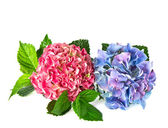 Beautiful hortensia flowers isolated on white — Stock Photo