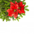 Christmas tree branch with red poinsettia flower — Stock fotografie