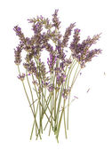 Dry flowers of lavender plant isolated on white — Stock Photo