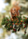 Red squirrel in the summer of yew — Stock Photo