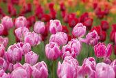 Garden tulip — Stock Photo