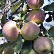 Stock Photo: Apples in garden