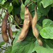 Stock Photo: Ripe beans in anticipation of harvest