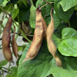 Ripe beans in anticipation of the harvest — Stockfoto
