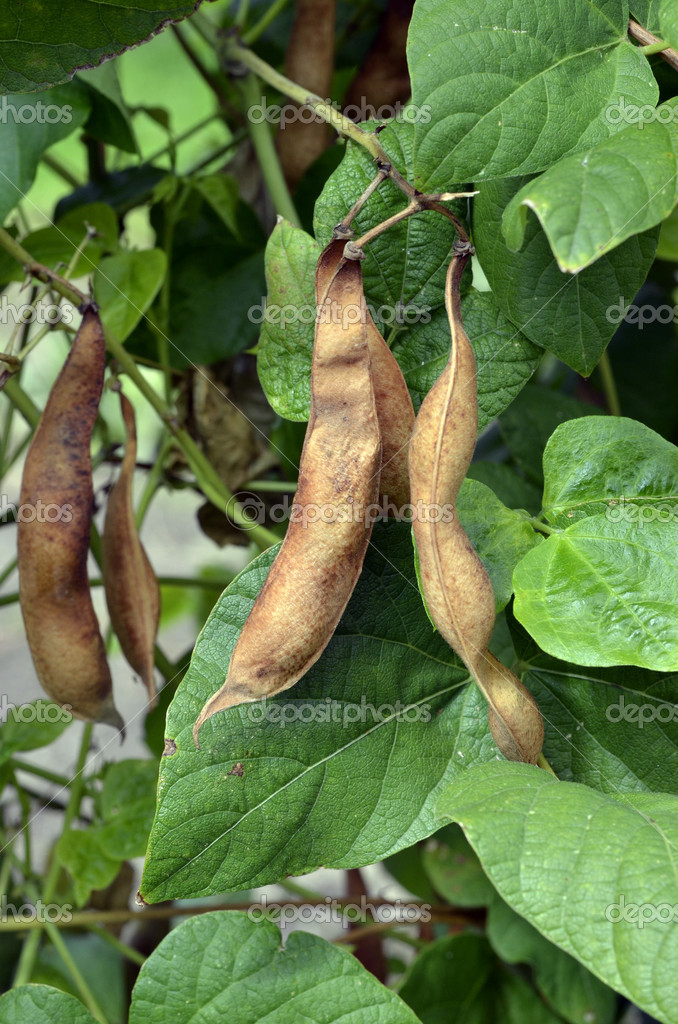 Ripe beans in anticipation of the harvest — Stockfoto #12725345