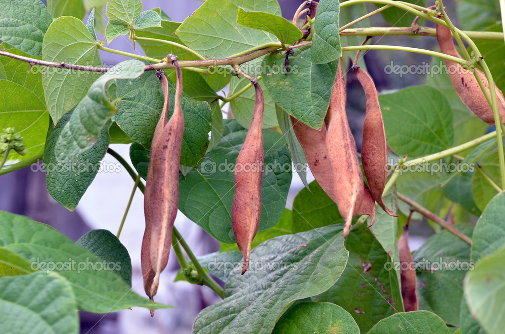 Ripe beans in anticipation of the harvest — Stock Photo #12725349