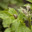 Colorado potato beetle — Foto de stock #25984591