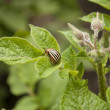 Colorado potato beetle — Stockfoto #25984591