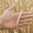 Ears of wheat on hand — Stockfoto