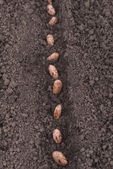 Bean seeds in the ground. — Stock Photo