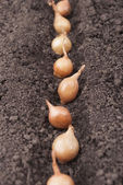 Spring onions in soil. — Stockfoto