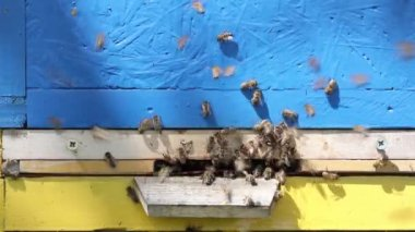 Close up of entrance to beehive with bees coming and going — Stock Video