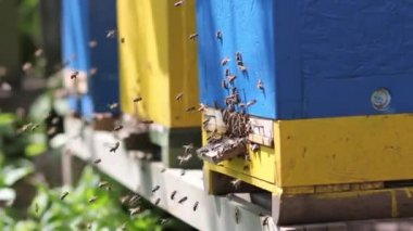 Apiary, swarm of bees at the entrance to the hive. — Stockvideo