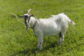 Goat on pasture. — Stock Photo