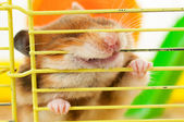 Hamster gnawing at the cage — Stock Photo
