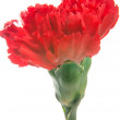 Beautiful red Carnation — Stock Photo