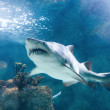 Stock Photo: Killer shark