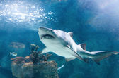 Killer shark — Stock Photo