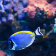 Stock Photo: Powder Blue Surgeonfish