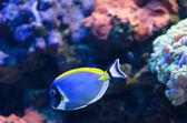 Powder Blue Surgeonfish — Stock Photo