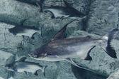 Freshwater shark — Stock Photo