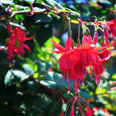 Delightful fuchsia — Stock Photo