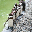Stock Photo: Funny penguins