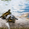 Two water turtles on the rock — Stock Photo