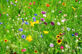 Wild flowers — Stock Photo