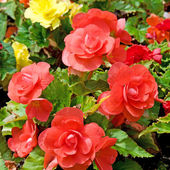 Beautiful background of flowers begonias — Stock Photo