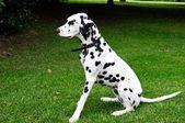 Dalmatian dog — Stock Photo