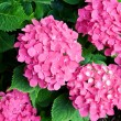 Bright flowers hydrangeas — Stock Photo #23226928