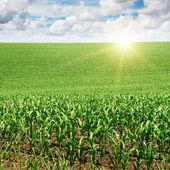 Salida del sol sobre el campo del maíz — Foto de Stock