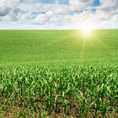 Sunrise over the corn field — Stock Photo