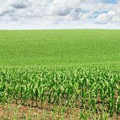 Champ de maïs — Photo
