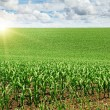 Stock Photo: Sunrise over corn field