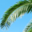 Stock Photo: Palm branch on background of blue sky