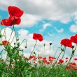 Stock Photo: Scarlet poppies on background of cloudy sky