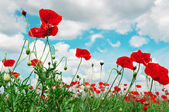 Scarlet poppies on a background of the cloudy sky — Stock Photo