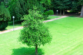 Lonely tree on the lawn in the park — Stock Photo