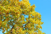 Tree branches with yellow leaves — Stock fotografie