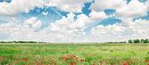 Champ de blé beau et bleu ciel nuageux — Photo