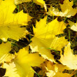 Yellow maple leaves on green grass in autumn — Stock Photo #32375033